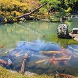 Рыбы карпа Стоковое фото RF