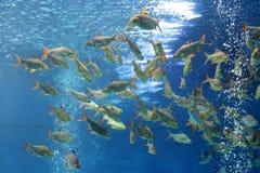 Рыбы карпа Crucian в аквариуме Стоковая Фотография RF
