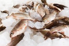 Рыбы карпа Crucian на льде как предпосылка Стоковое Изображение