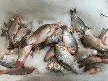Рыбы карпа Crucian свежие для продажи Стоковое Изображение