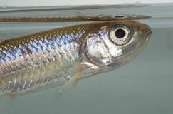 Рыбы карповые Стоковые Фото