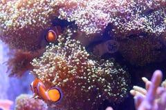 Рыбы клоуна с актинией стоковое фото rf