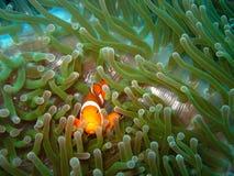 рыбы клоуна тропические Стоковое фото RF