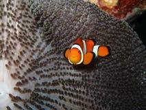 рыбы клоуна Стоковые Фотографии RF