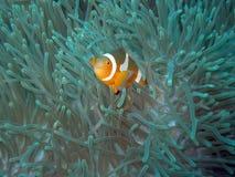 рыбы клоуна Стоковое фото RF