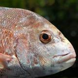 Рыбы: Конец головы красного люциана вверх Стоковые Изображения