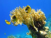рыбы коралла бабочки Стоковое Изображение RF