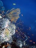 рыбы коралла колонии Стоковые Фотографии RF