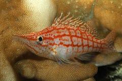 Рыбы коралла Стоковая Фотография
