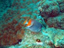 рыбы коралла Стоковые Изображения RF