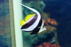 Рыбы коралла вымпела Стоковое Изображение RF