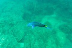 Рыбы коралла голубые и зеленые Стоковые Изображения RF