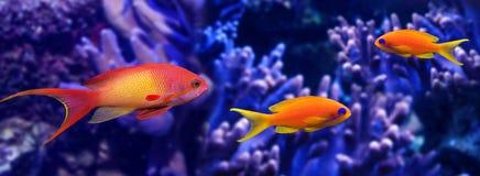 Рыбы коралла Стоковая Фотография RF
