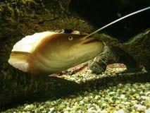 Рыбы кота стоковая фотография rf