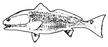 Рыбы красного барабанчика Redfish на белой предпосылке иллюстрация штока