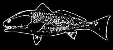 Рыбы красного барабанчика Redfish на черной предпосылке бесплатная иллюстрация