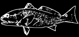 Рыбы красного барабанчика Redfish на черной предпосылке иллюстрация вектора