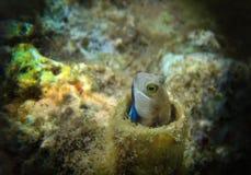 Рыбы Красного Моря - dussumieri коралла Aspidontus Blenny Ланса Стоковые Фотографии RF