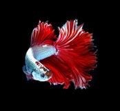 Рыбы красного дракона сиамские воюя, рыбы betta изолированные на черном b Стоковое Изображение RF