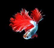 Рыбы красного дракона сиамские воюя, рыбы betta изолированные на черном b Стоковые Фотографии RF
