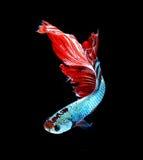 Рыбы красного дракона сиамские воюя, рыбы betta изолированные на черном b Стоковое Фото