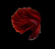 Рыбы красного дракона сиамские воюя, рыбы betta изолированные на черном b Стоковое Изображение