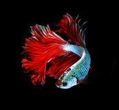 Рыбы красного дракона сиамские воюя, рыбы betta на черном b Стоковая Фотография RF