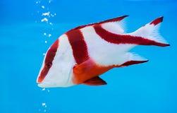 Рыбы красного люциана императора на голубой предпосылке стоковое фото rf