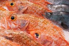 Рыбы красного люциана Стоковое фото RF