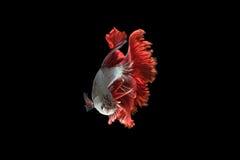 Рыбы Красно-серебра сиамские воюя, рыбы betta на черной предпосылке Стоковое Изображение