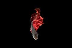 Рыбы Красно-серебра сиамские воюя, рыбы betta на черной предпосылке Стоковое Фото
