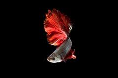 Рыбы Красно-серебра сиамские воюя, рыбы betta на черной предпосылке Стоковые Изображения