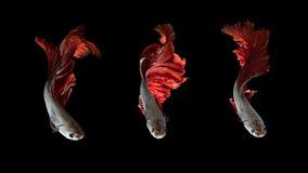 Рыбы Красно-серебра сиамские воюя, рыбы betta на черной предпосылке Стоковые Фотографии RF