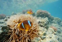 Рыбы клоуна приближают к актинии, Красному Морю, marsa Alam, Египту Стоковое Изображение RF