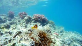 Рыбы клоуна приближают к актинии, Красному Морю, marsa Alam, Египту акции видеоматериалы