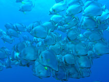 рыбы летучей мыши Стоковое фото RF