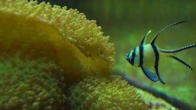 Рыбы луны в аквариуме видеоматериал