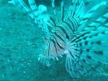 Рыбы льва Стоковые Фото