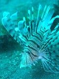 Рыбы льва Стоковые Изображения RF