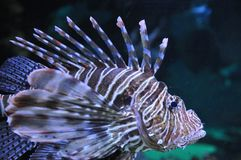 Рыбы льва Стоковое Изображение