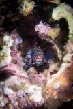 Рыбы мандарина Стоковые Фото