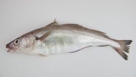 Рыбы мерлангов Стоковое фото RF