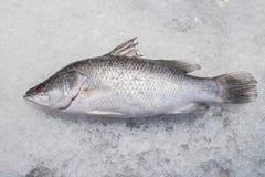 Рыбы морского окуня на задавленном льде Стоковое фото RF