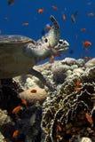 Рыбы морской черепахи и стекла, коралловый риф стоковые фото