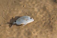 Рыбы моря на песке Стоковое Изображение RF