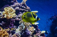 Рыбы моря butterflyfish енота стоковая фотография