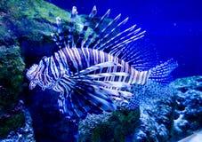 Рыбы моря - Striped паук зебры Стоковое Изображение