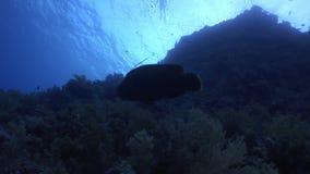 Рыбы Наполеона на предпосылке отражения солнца подводного в Красном Море сток-видео