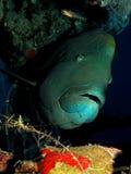 Рыбы Наполеон Стоковое фото RF