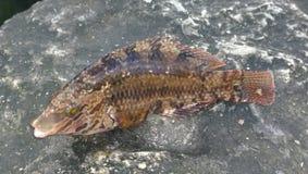 Рыбы на камне Стоковые Фото